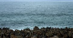Wide shot of the Cape Fur Seal Colony's nursery on the beach and the Atlantic ocean black in color, due to the number of seals in the ocean