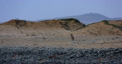 A Black-backed Jackal, Canis mesomelas hunting for food on the Skeleton Coast Sand dunes.