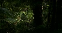 Tilt shot at the Kauri Walk, Puketi Forest, from the Kauri Tree tops to the dense ferns below.