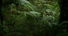 Pan across the dense Puketi Forest, The Kauri Walk, with ferns and palms.