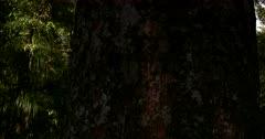Close up, Tilt shot at the Kauri Walk, Puketi Forest, along a Kauri tree Trunk to its tree top.