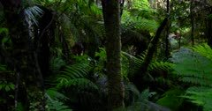 Pan across the rainforest full of green ferns,moss and trees at Lake Matheson, New Zealand