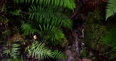 The camera follows a small river flowing in between the lush moss and ferns at Lake Matheson