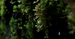 Close up shot of Rain water dripping off the tiny plants and moss, with a varied depth of field