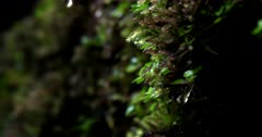 Macro shot of Rain water dripping off the tiny plants and moss