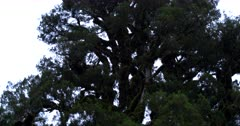 Wide Tilt shot of a tree heavily covered in growing green moss