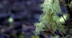 Fine Lichen growing on a shrubs branches