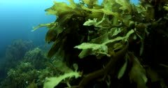 Slow Motion, Underwater Stalk Kelp,Ecklonia radiata and brown algae Seaweeds of New Zealand Carpophyllum plumosum at Poor Knights Marine Sanctuary