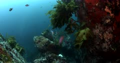 Slow motion, Pink maomao or longfin perch, Caprodon longimanus fish relax beneath Stalk Kelp