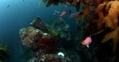 Pink maomao or longfin perch, Caprodon longimanus fish relax beneath Stalk Kelp