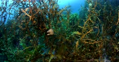 Two Yellow Moray eels, Gymnothorax prasinus, disguised while hanging on sea weed,Carpophyllum Plumosum