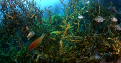 Reveal of Two Yellow Moray eels, Gymnothorax prasinus, disguised while hanging on sea weed,Carpophyllum Plumosum while fish swim about