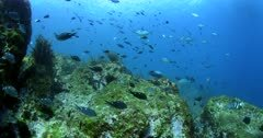 A wide shot of a school of Two spot demoiselles, damsel fish,Chromis dispilus