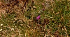 A Wide shot of a Milk Thistle Plant, Silybum marianum growing wild on the Otago Peninsular