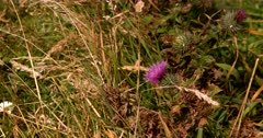 A close up shot of a pink flower of a Milk Thistle Plant, Silybum marianum growing wild on the Otago Peninsular