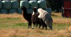 Llama's, Lama glama, mating