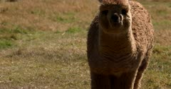 A close up of a baby Llama, Lama glama eating grass