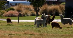 Two Llama's, Lama glama standing on their hind legs and fighting