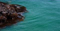 Close up of Bull kelp,Nereocystis luetkeana swaying with the ocean