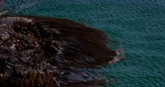 Close up of Bull kelp,Nereocystis luetkeana swaying with the ocean, looks like hair in water