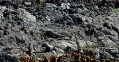 New Zealand fur seals, Arctocephalus forsteri fighting with one another