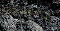 Two baby New Zealand fur seals, Arctocephalus forsteri and an Adult on the rough rocks