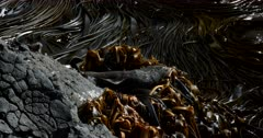 A close up shot of a  New Zealand fur seal, Arctocephalus forsteri rolling and rubbing itself on the Bull kelp