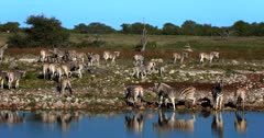 A Wide shot of a Zeal or Dazzle of Plains,Common,Burchell's Zebra including some juveniles stumbling over the pebbles while walking away from the waters edge.