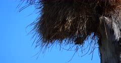 A close up shot of a Sociable weaver bird, Philetairus socius exiting its huge nest on a bare tree trunk