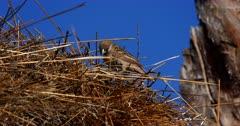An Extreme close up shot of Sociable weaver bird, Philetairus socius repairing the nest.