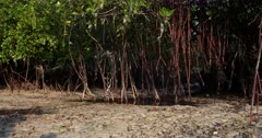 Close up, pan shot of a Mangrove tree's roots that are wrapped with plastic bags,nets,rope and other pollution.