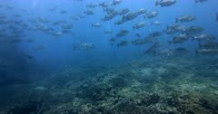 Giant Trevally fish, Caranx ignobilis and  a large school of  Gray Rudderfish, Gray Drummer, Kyphosus bigibbus swim past the camera in murky sea water.