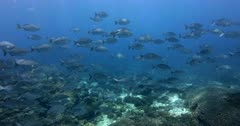 Giant Trevally fish, Caranx ignobilis and  a large school of  Gray Rudderfish, Gray Drummer, Kyphosus bigibbus swim past the camera.