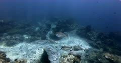 A slow motion shot of a school of Humpback Unicornfish, Naso brachycentron swimming past the camera