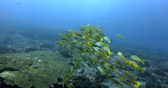 A Close up slow motion shot, of a school of yellow and silver stripped Bengal Snapper fish, Lutjanus bengalensis swimming together above the reef.
