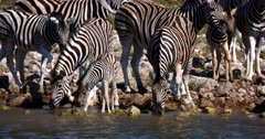 Close up shot of a Juvenile Plains,Common,Burchell's Zebra stepping carefully into the water next to its mom and uncertain of drinking the water