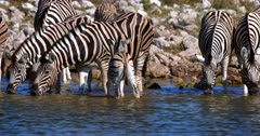 Close up shot of an unsure,unsteady Juvenile Plains,Common,Burchell's Zebra stepping carefully in the water snuggling up to its mom