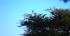 A wide shot of Red Billed Quelea,Quelea quelea birds landing on a Thorn tree