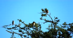 A close up shot of Red Billed Quelea,Quelea quelea birds grooming themselves on a Thorn tree
