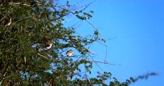 A close up shot of Red Billed Quelea,Quelea quelea birds on a Thorn tree