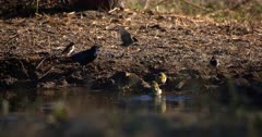 A close up shot of Red Billed Quelea,Quelea quelea birds splashing and taking a bath in a puddle of water