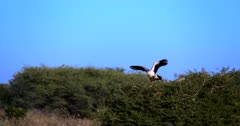 A medium wide shot of a male and female Secretary bird,Sagittarius serpentarius one sits on their nest in a Thorn tree, while the other opens its large wings and carefully step around the thorn tree.