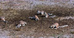 A wide shot of a group of Cape ground squirrels, Xerus inauris eating Buck dropping off the ground.
