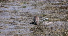 A close up of Cape ground squirrel, Xerus inauris searching for and eating Buck dropping off the ground.