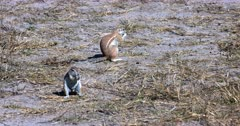 A medium wide shot of Two of Cape ground squirrels, Xerus inauris eating Buck dropping off the ground.