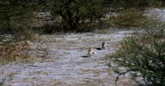 A wide Tracking shot of a Male Cape ground squirrel, Xerus inauris defending its territory by chasing an intruder away. Tails are fluffy and he is insistent that the intruder must leave.