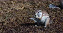 A Close Up shot of a Cape ground squirrel, Xerus inauris sitting on a pile of buck dropping,picking one up at a time and eating them.