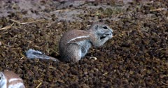 A Close Up shot of a Cape ground squirrel, Xerus inauris searching through a pile of buck dropping,picking one up at a time and eating them.