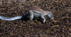 A Close Up shot of a Cape ground squirrel, Xerus inauris searching through a pile of buck dropping.
