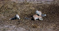 A Wide shot of a group Cape ground squirrels, Xerus inauris searching through a pile of buck dropping, picking one up at a time and eating them.